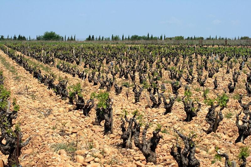File:Vigne et galets à Châteauneuf-du-Pape.jpg