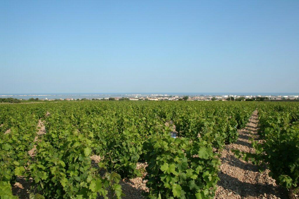 Vinmarker i Frontignan